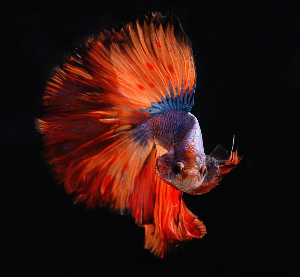 male betta fish flaring