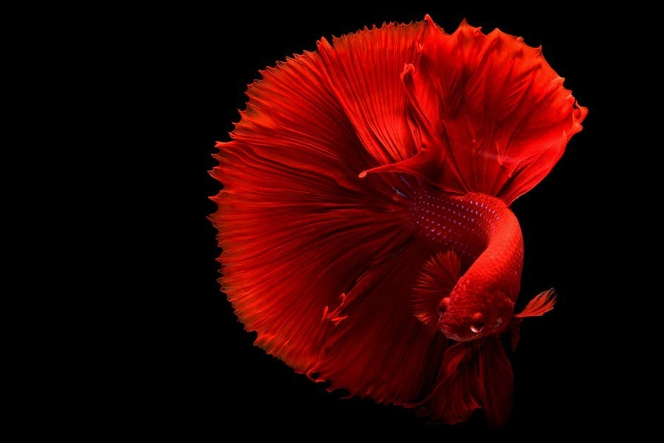 beautiful half moon betta fish