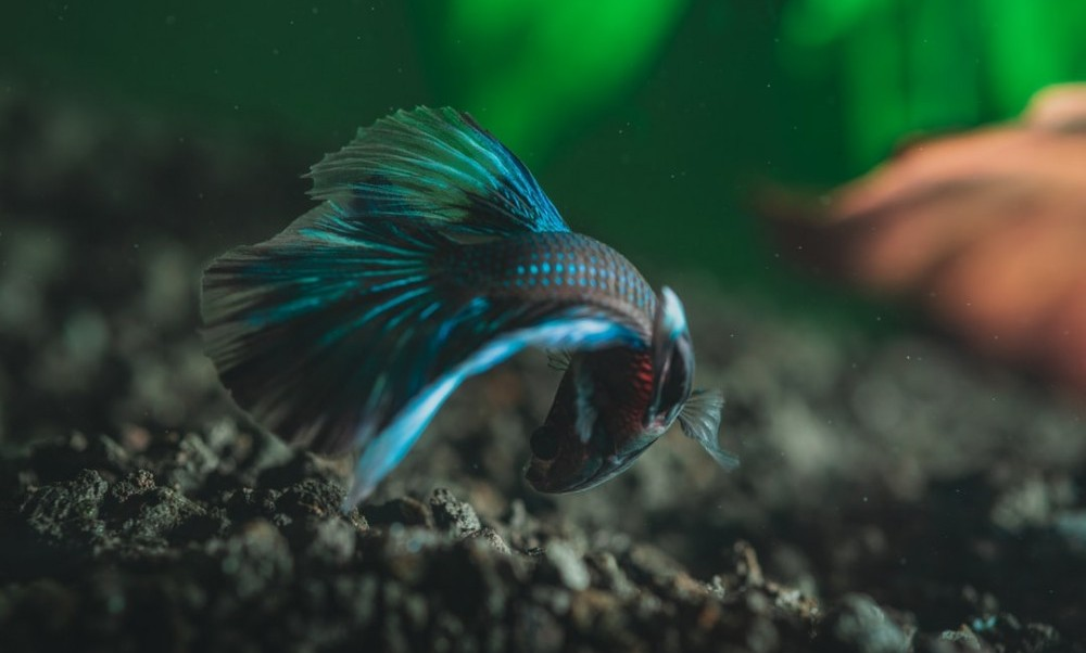 betta fish in community tank