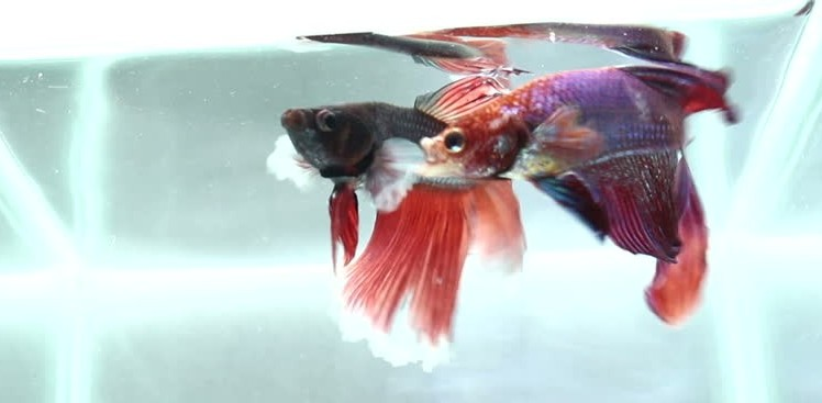 betta fish actual fight