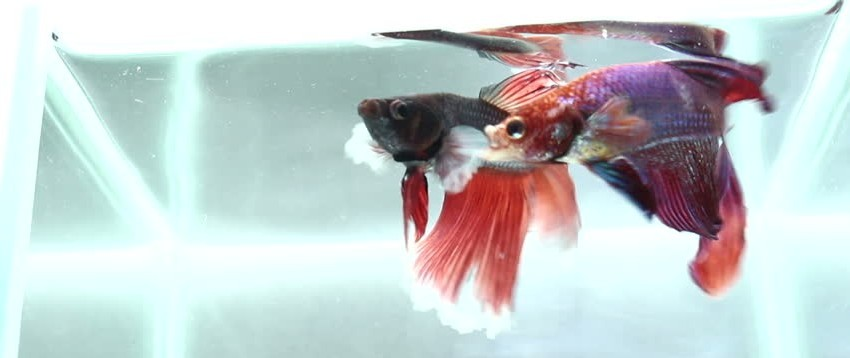 male betta fish fighting each other