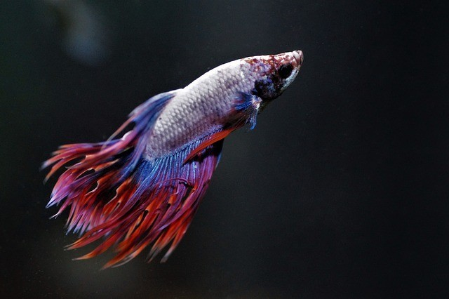 lethargic betta fish not eating