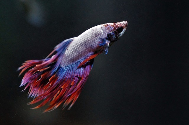 lethargic betta fish
