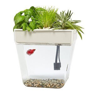 betta fish aquaponics