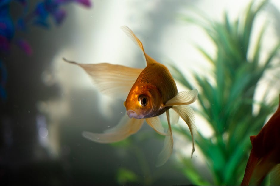 goldfish needs big fish tank