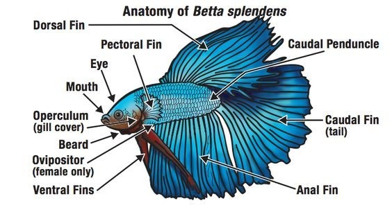 anatomy of betta fish