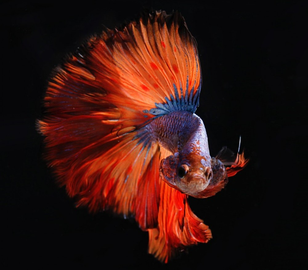 beautiful feathertail betta fish