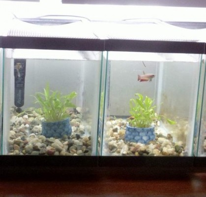 betta fish tank with divider