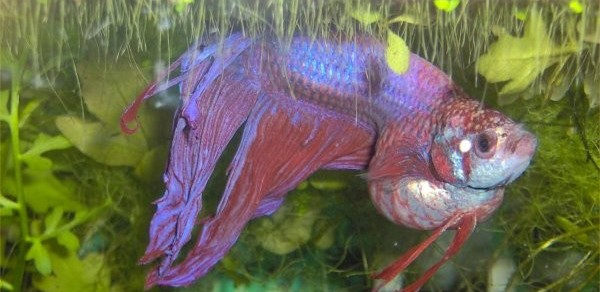tuberculosis betta fish