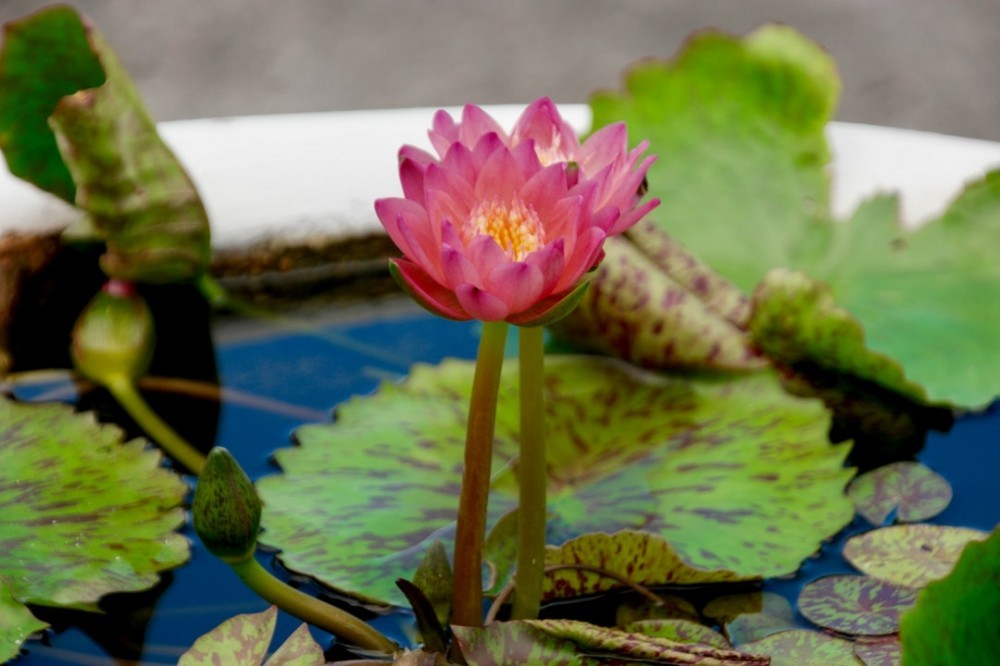 Aquaphonics where water lilies are used
