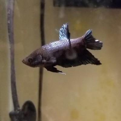 my female betta fish
