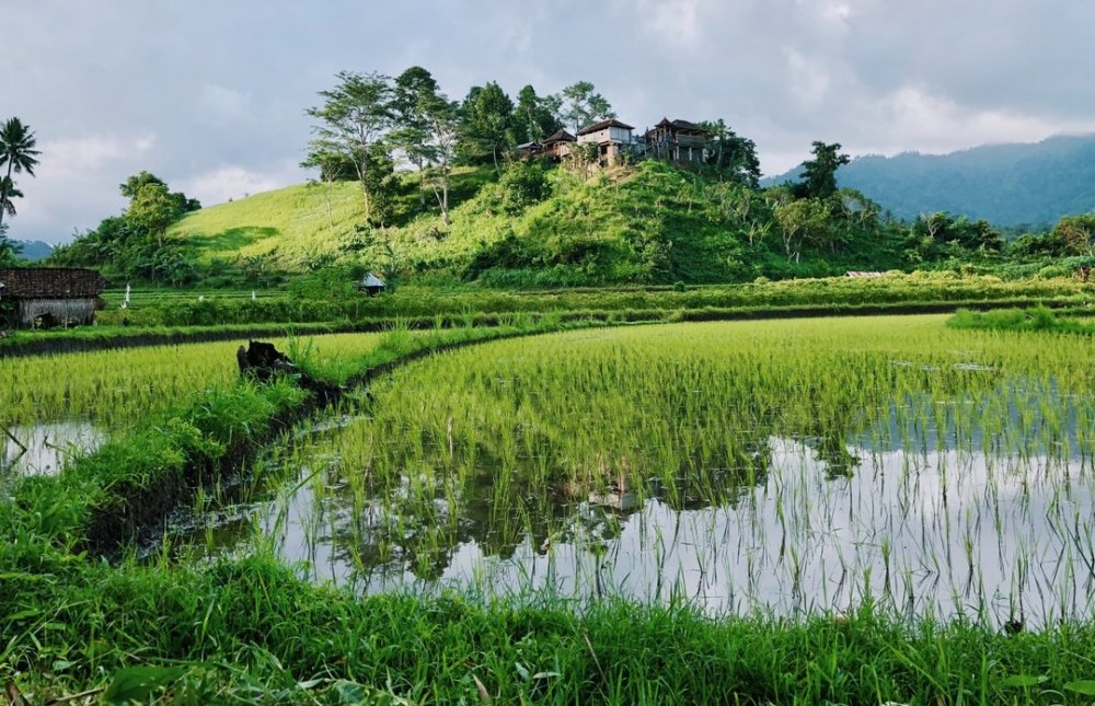 rice paddies in thailand where there are lot of wild betta fish