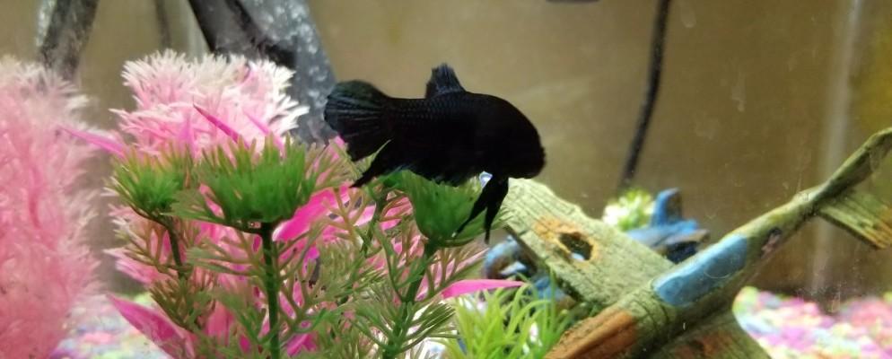 my beautiful spade tail female betta fish