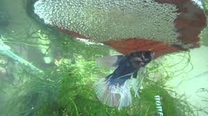 betta fish bubble nest