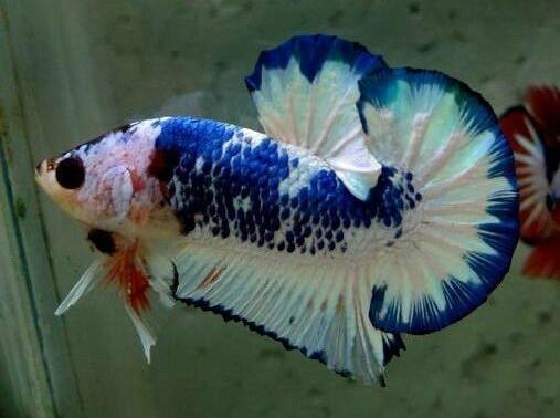 marble betta fish 1