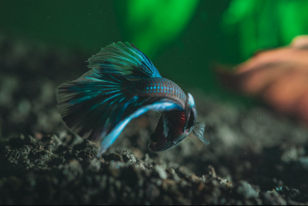 betta fish pee