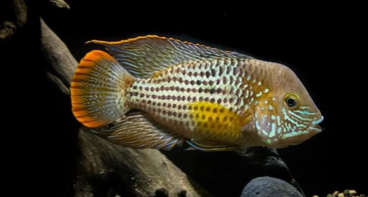 flowerhorn cichlid