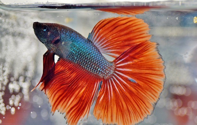 red tail betta fish