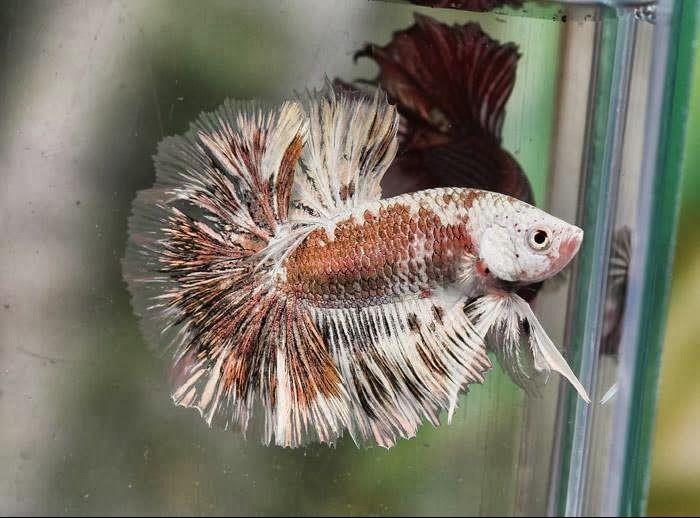 Marble Betta Fish 2