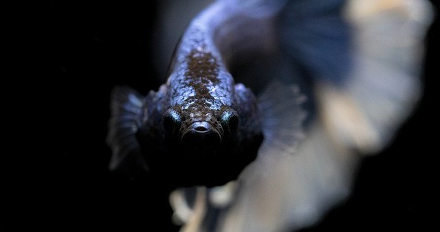 male betta fish ready to fight