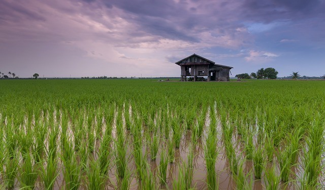 thailand rice paddies