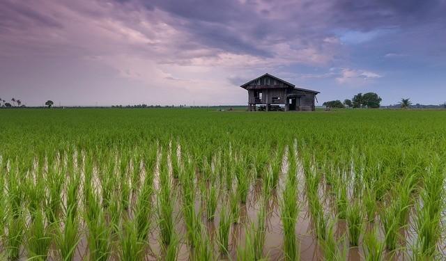 asia rice paddies