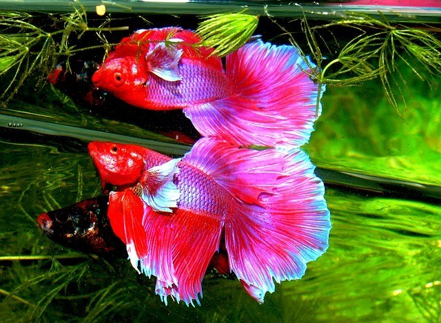betta fish ready to fight