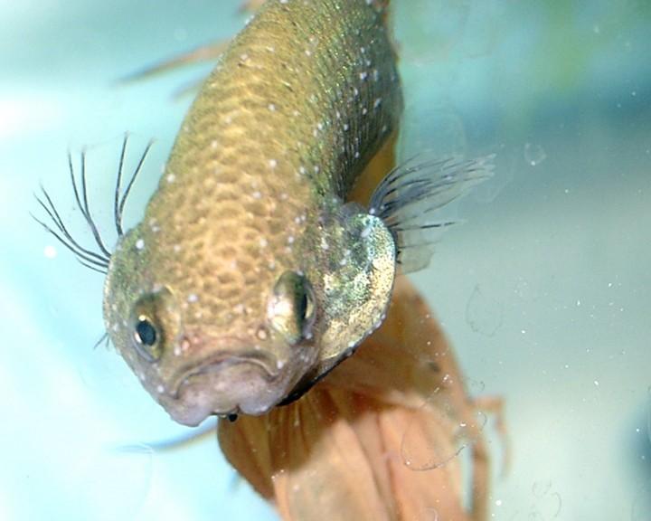 betta fish ich disease