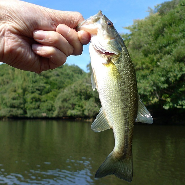 Small Largemouth Bass being held by an angler over water.