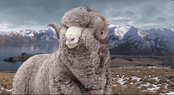 Merino wool sheep