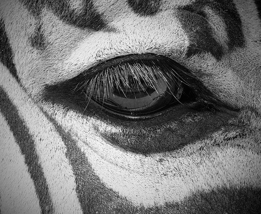 Zebra eyebrows
