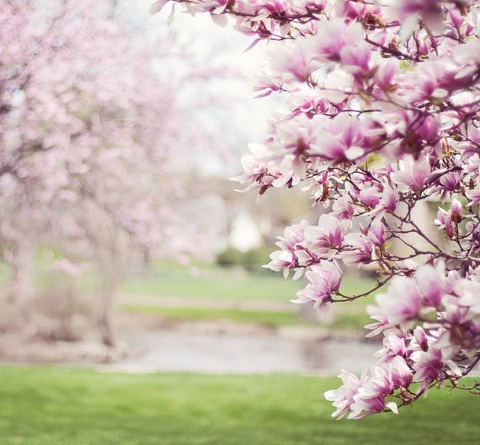 Cherry blossoms pastoral scene