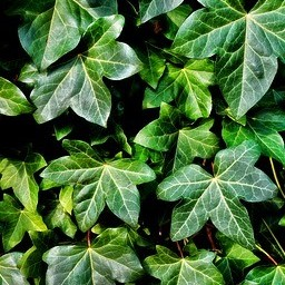 Burdock root and ivy leaves
