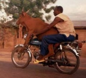 Cow on Motorcycle