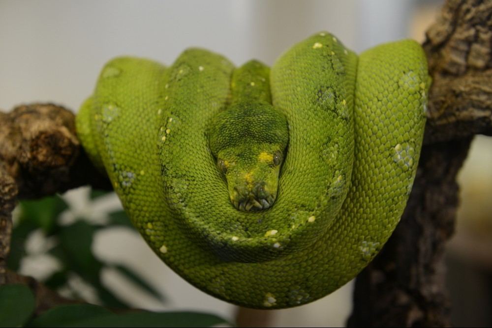 Morelia Viridis resting on a Branch
