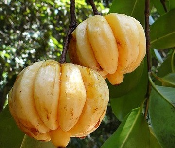 healthy fruit Garcinia Cambogia