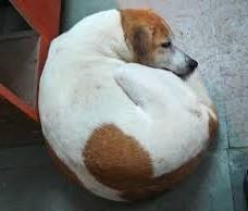Curled Up Sleeping Dog