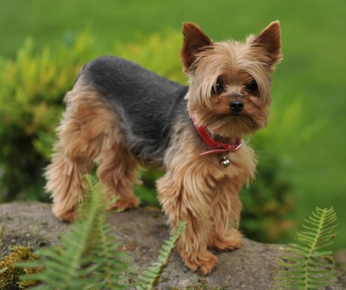 8 Small Non-Shedding Dog Breeds with Great Temperaments