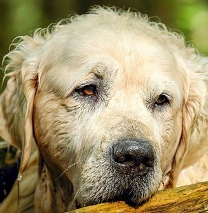 Symptoms Of Diabetes In Dogs - Please Don't Ignore Them