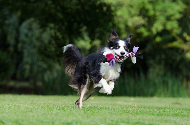 dog in mid air with toy