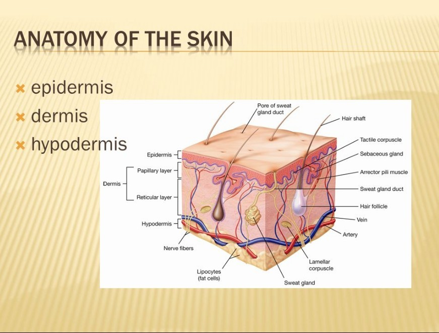 chart of how red light affects epidermis and dermis