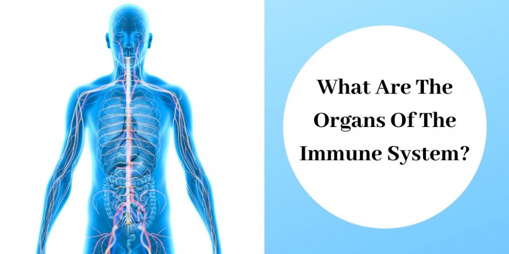 Organs Of The Immune System - Graphic