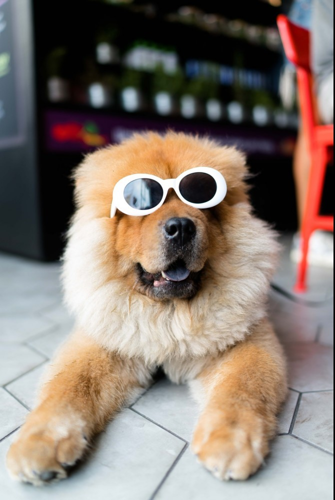 furry dog with white sunglasses