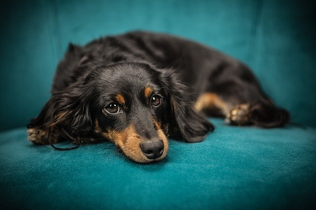 brown dog on turquoise chair