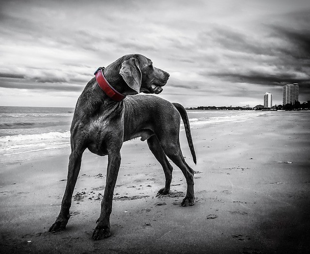 big black dog on beach