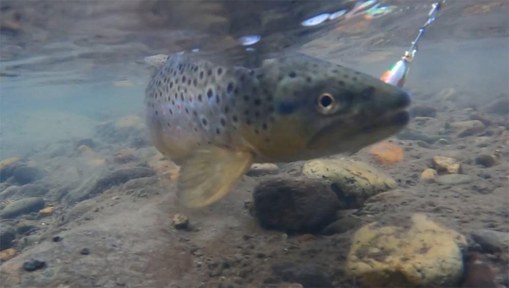 Colorado Cutthroat Trout