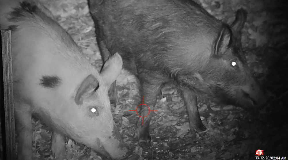 Wild Boar Starts Turning Side Ways