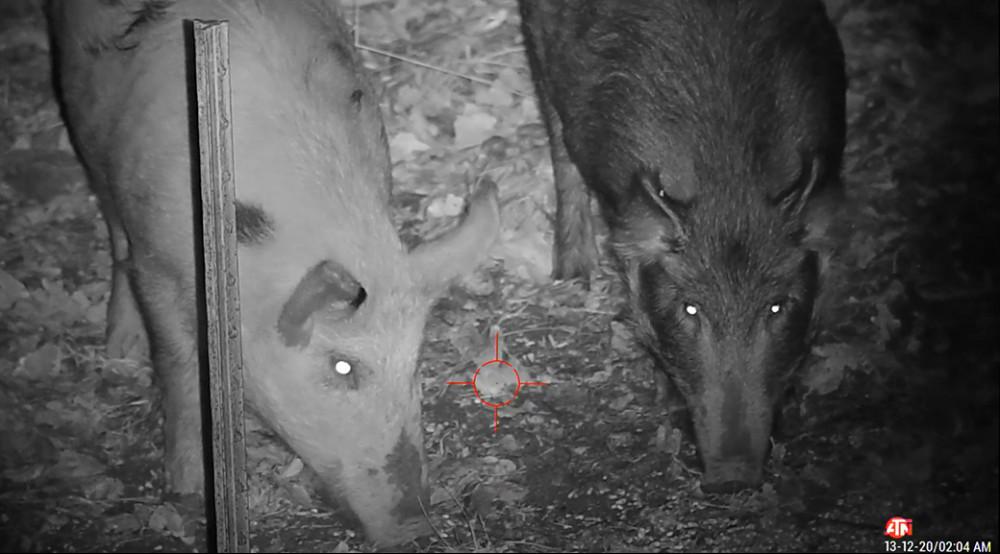 Wild Boar Hunting Oklahoma