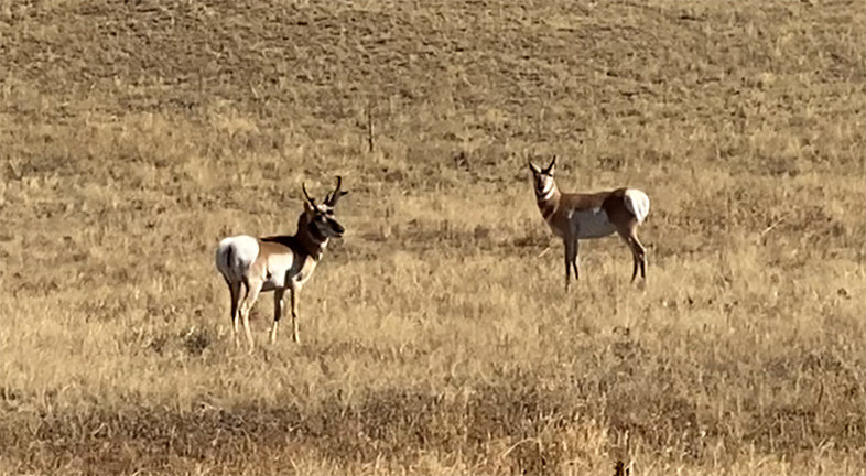 Colorado Antelope
