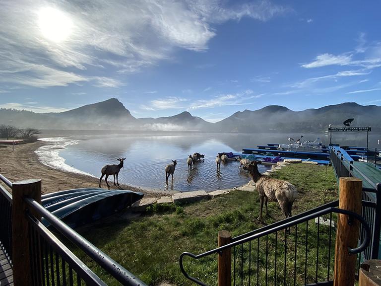 Elk at Lake Estes